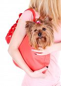 stock photo of yorkshire terrier  - Woman holding cute Yorkshire terrier in bag isolated on white - JPG