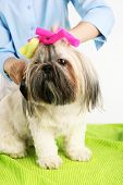 pic of barbershop  - Cute Shih Tzu and hairdresser in barbershop - JPG