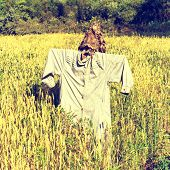 picture of fall-wheat  - Scarecrow on the field full of wheat - JPG