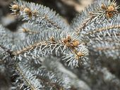 image of blue spruce  - blue spruce branches with cones in spring - JPG