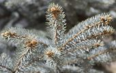 stock photo of blue spruce  - blue spruce branches with cones in spring - JPG