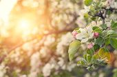 pic of apple orchard  - Beauty spring nature background - JPG