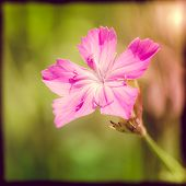 stock photo of angiosperms  - Deptford Pink or Dianthus Armeria in a green meadow under the warm spring sun with instagram effect - JPG