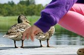 picture of dock a pond  - Little girl with mallard ducklings on a dock - JPG