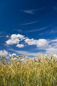 stock photo of corn stalk  - a corn field in summer against a blue sky - JPG