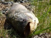 foto of maggot  - Dead fish with flies and worms lying on ground - JPG