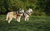 stock photo of siberian husky  - Two Siberian husky dogs on a walk in a park - JPG
