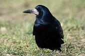 Corvus Frugilegus, Rook