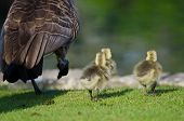 pic of mother goose  - Three Adorable Little Gosling Running Alongside of Mom - JPG