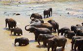 stock photo of bathing  - Elephants bathing in river in Sri Lanka - JPG