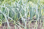 foto of leek  - Leeks in the orchard - JPG