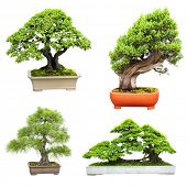 picture of bonsai  - Collection of bonsai - JPG