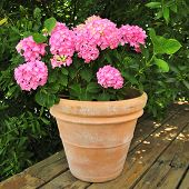picture of geranium  - Geranium Potted Plant with lovely pink flowers - JPG