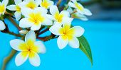 pic of frangipani  - Frangipani flowers on a tree in the garden - JPG