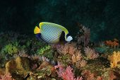 picture of emperor  - Emperor Angelfish - JPG