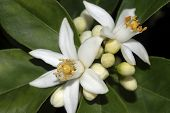 stock photo of orange blossom  - citrus orange blossom - JPG