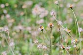 picture of weed  - Flower plant grass weed in the nature or in the garden