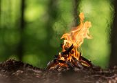 picture of pain-tree  - Bonfire in spring forest - JPG