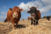 image of calves  - Photo of calves and oxen taken in Sicily in madonie