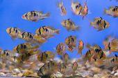 foto of butterfly fish  - Photo of aquarium fish bolivian ram cichlid  - JPG