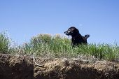 stock photo of tall grass  - A photo of a small black dog standing on an overlook in the tall grass - JPG
