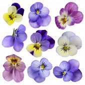 stock photo of viola  - Viola flowers isolated on a white background - JPG