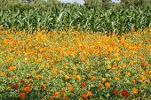 foto of cosmos flowers  - beautiful cosmos flowers in the garden in Thailand - JPG