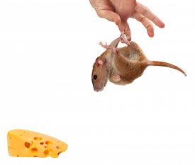 picture of fancy mouse  - Fancy rat hang on hand and looking at piece of cheese - JPG