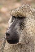 Papio Cynocephalus Yellow Baboon In Africa