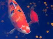 stock photo of koi fish  - two japanese koi fish in pond with coins - JPG