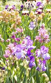 Постер, плакат: Flowerbed With Irises
