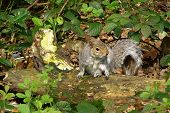 Grey Squirrel I