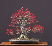 Japanese Maple Bonsai Ins Spring