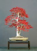 Japanese Maple Bonsai, Red