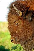 Bison (búfalos) pastando perto de leavenworth ks EUA