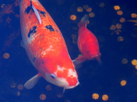 image of koi fish  - two japanese koi fish in pond with coins - JPG