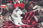 Cute Siberian Husky With Christmas Wreath On Neck Sitting On A Red Blanket. Christmas Decor On Backg poster