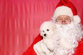 Santa Claus. Santa Claus holds a Bichon Frise Puppy. Bichon Frise Dog. poster