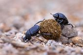 Hard Working Dung Beetles Facing Problems poster