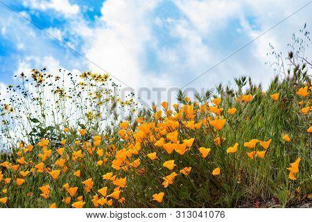 poster of Scenic Spring Landscape Of Bright Orange Vibrant Vivid Golden California Poppies, Seasonal Native Pl
