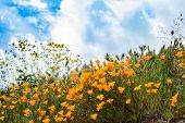 Scenic Spring Landscape Of Bright Orange Vibrant Vivid Golden California Poppies, Seasonal Native Pl poster