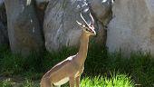 Gazelle 2