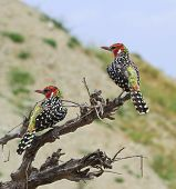 Red & Yellow Barbets on Branch