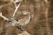 Mujer verde – winged Teal - Parque Nacional Everglades, Florida