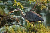 Great Blue Heron - Everglades National Park, Florida