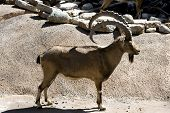 Mountain Goat 5