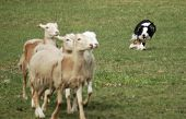 Sheep Dog Herding in the Field