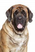 Retrato de um Mastiff Inglês