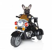 stock photo of bull riding  - Dog riding on a black police motorcycle - JPG