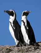 pic of jackass  - Two African or Jackass penguins in South Africa - JPG